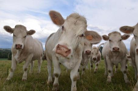L'herbe : un atout pour l'élevage des ruminants mais carencée en certains acides aminés