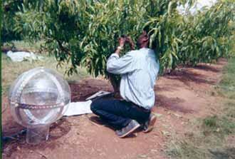 Peach tree digitising