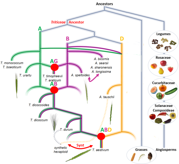 Evolutionary model of the modern bread wheat genome