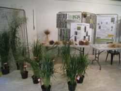 Généalogie simplifiée du blé