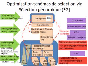 Optimisation schémas de sélection via Sélection génomique (SG)