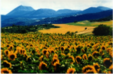 Sunflower field (Puy de Dôme)