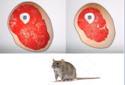 La perte des protéines 4E-BP1 et 4E-BP2 prévient le développement de la sarcopénie chez la souris.