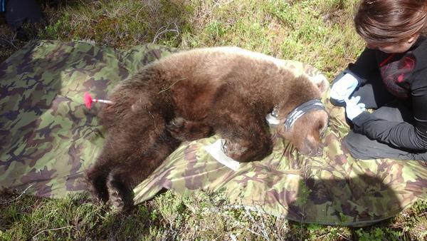 bear summer capture
